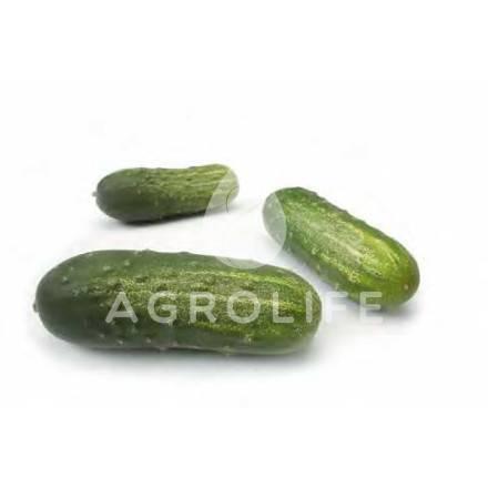 Пучковые огурцы: как вырастить и получить богатый урожай