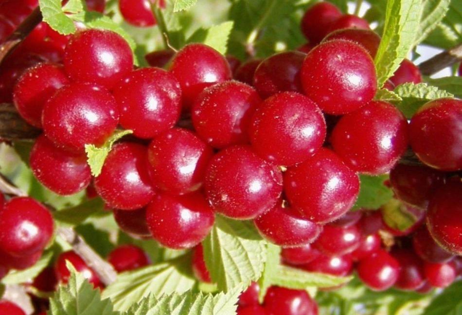 Чем вишня отличается от черешни и существует ли гибрид этих двух культур?