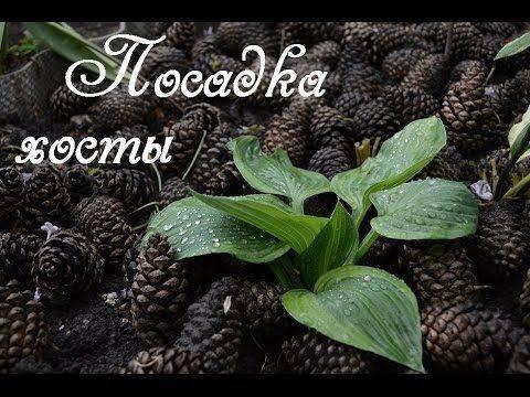 Хоста: фото, видео посадки, ухода, условия выращивания в открытом грунте, размножение растения