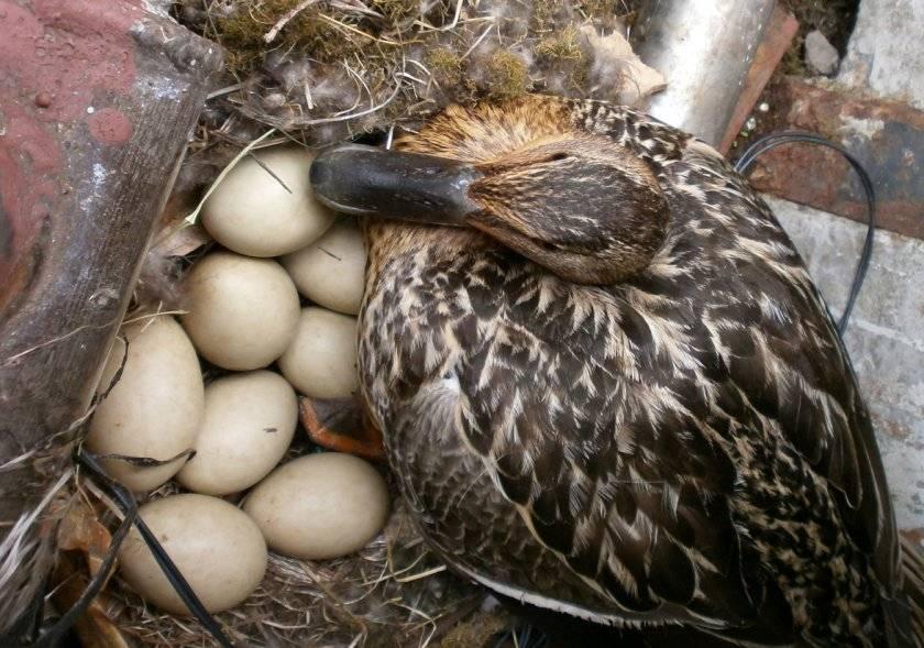 Описание тонкостей утиной яйцекладки