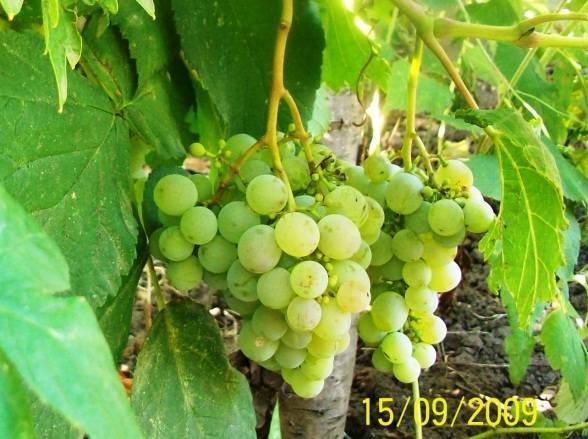 Как прищеплять виноград, зелёная и черная прививка, сроки, когда можно прививать