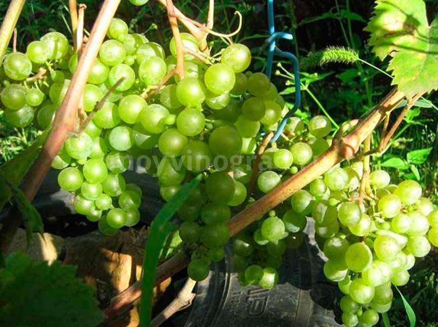 «краса севера» или «ольга» — раннеспелый крупноплодный сорт