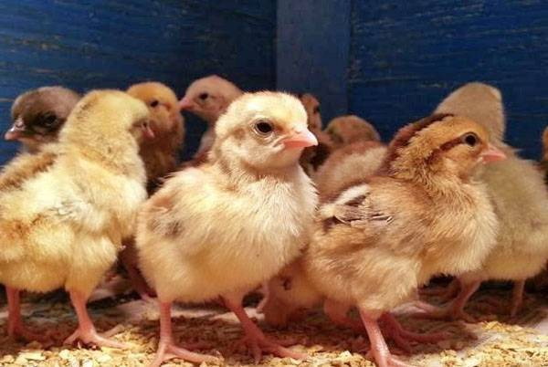 Инструкция по применению байкокса для цыплят - общая информация - 2020