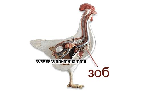 Отчего возникает кандидоз у птиц и можно ли вылечить это заболевание?