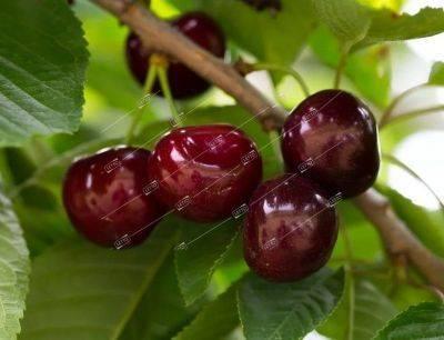 Вишня чернокорка - фото плодов и описание сорта