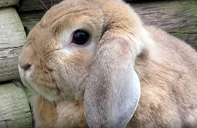 Какое зерно можно давать кроликам и как их кормить?