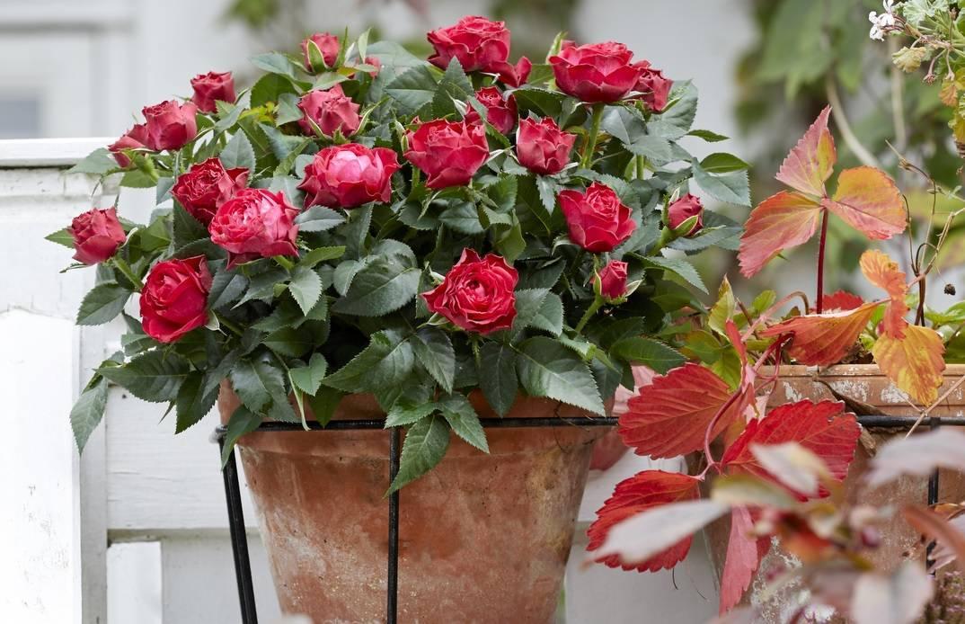 Уход за комнатными розами в домашних условиях – пошаговая инструкция