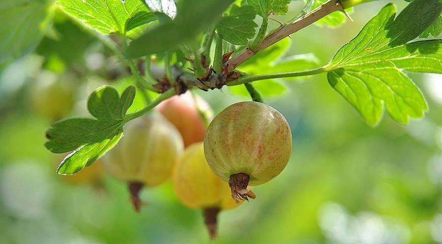 Выращивание крыжовника — посадка и дальнейший уход за ним