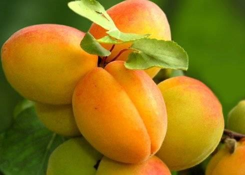 Особенности сорта абрикоса алёша