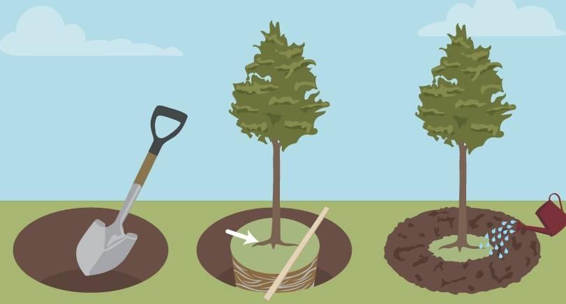 Посадка саженца вишни весной: пошаговое руководство