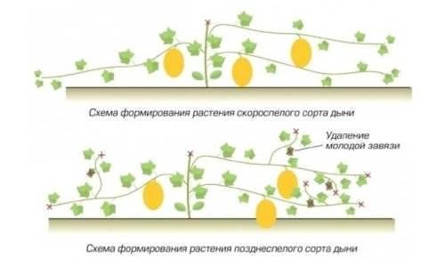 Арбузы в теплице (99 фото): правильное выращивание и грамотная подкормка