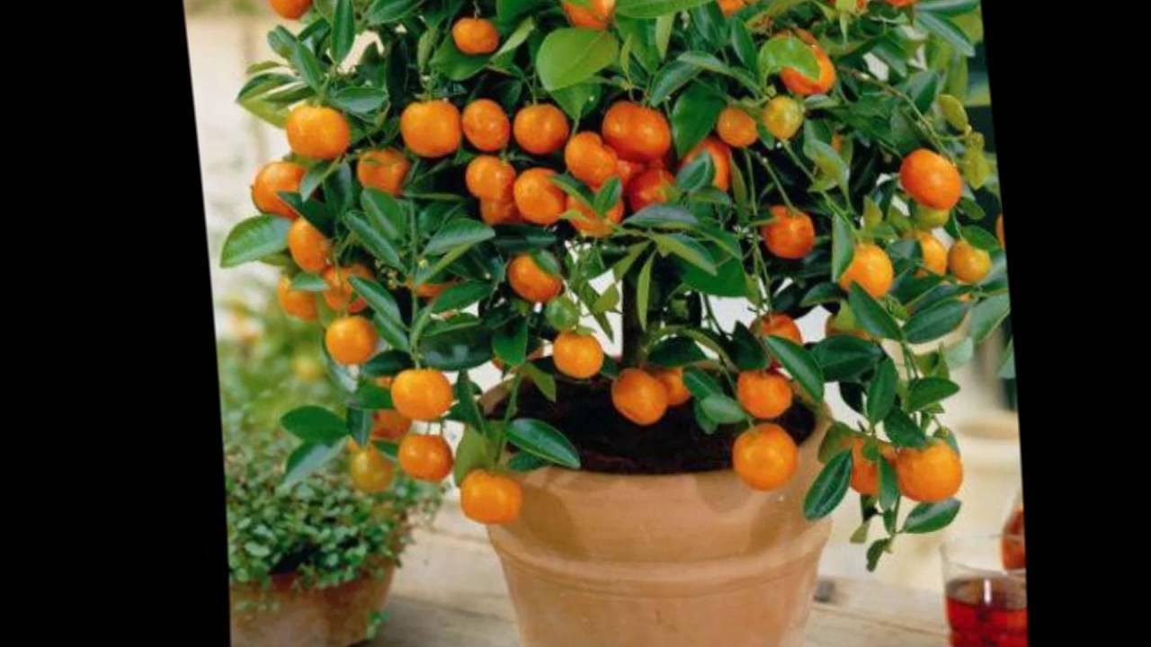 Как вырастить из косточки апельсиновое дерево