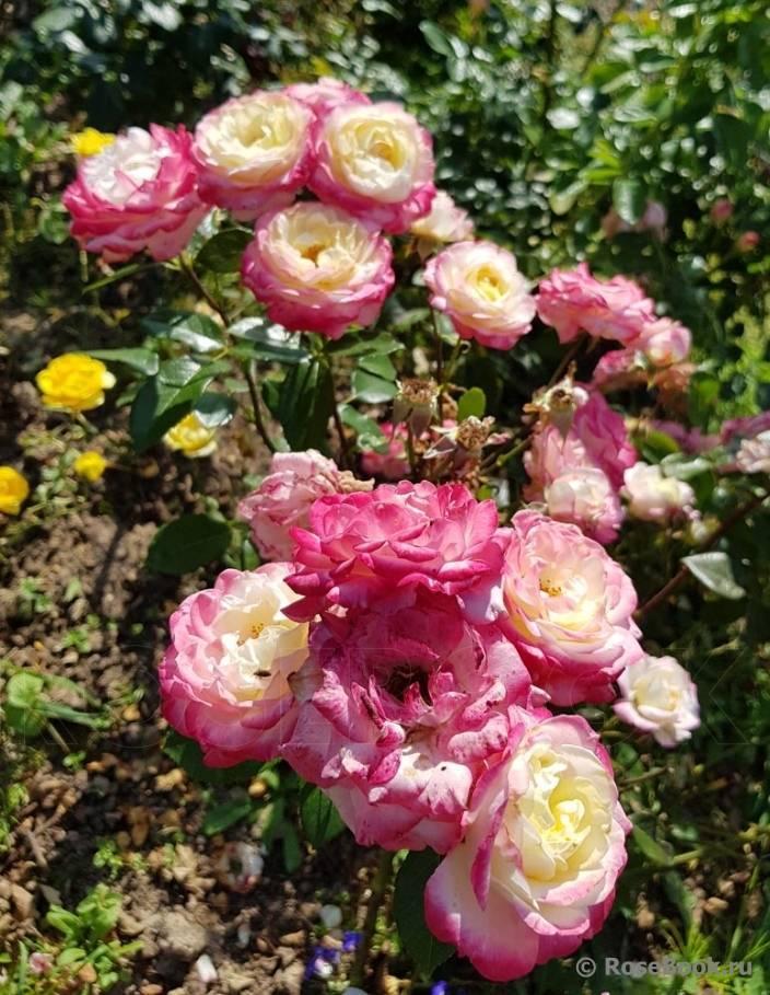 Роза помпонелла - описание сорта, особенности агротехники | о розе