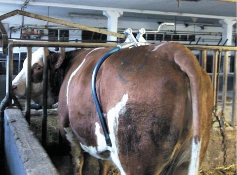 Корова бьется при доении