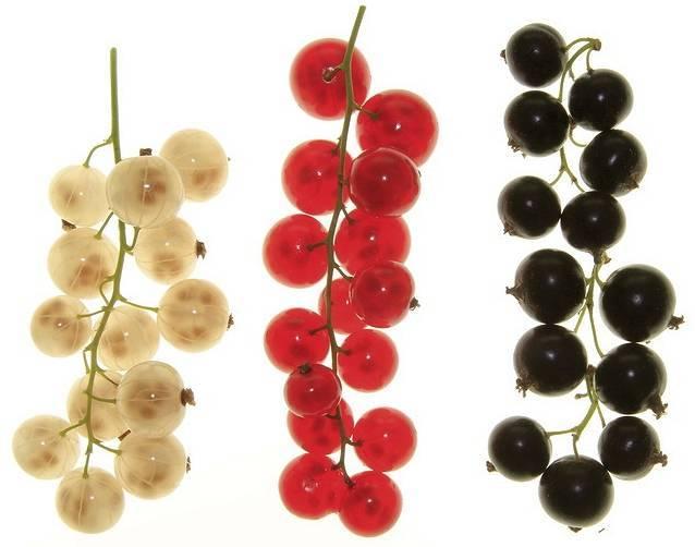 Как правильно выбрать и посадить саженцы смородины