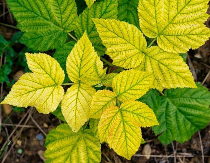 Клубника: болезни и вредители, как бороться, фото, почему сохнет, желтеет и не цветет