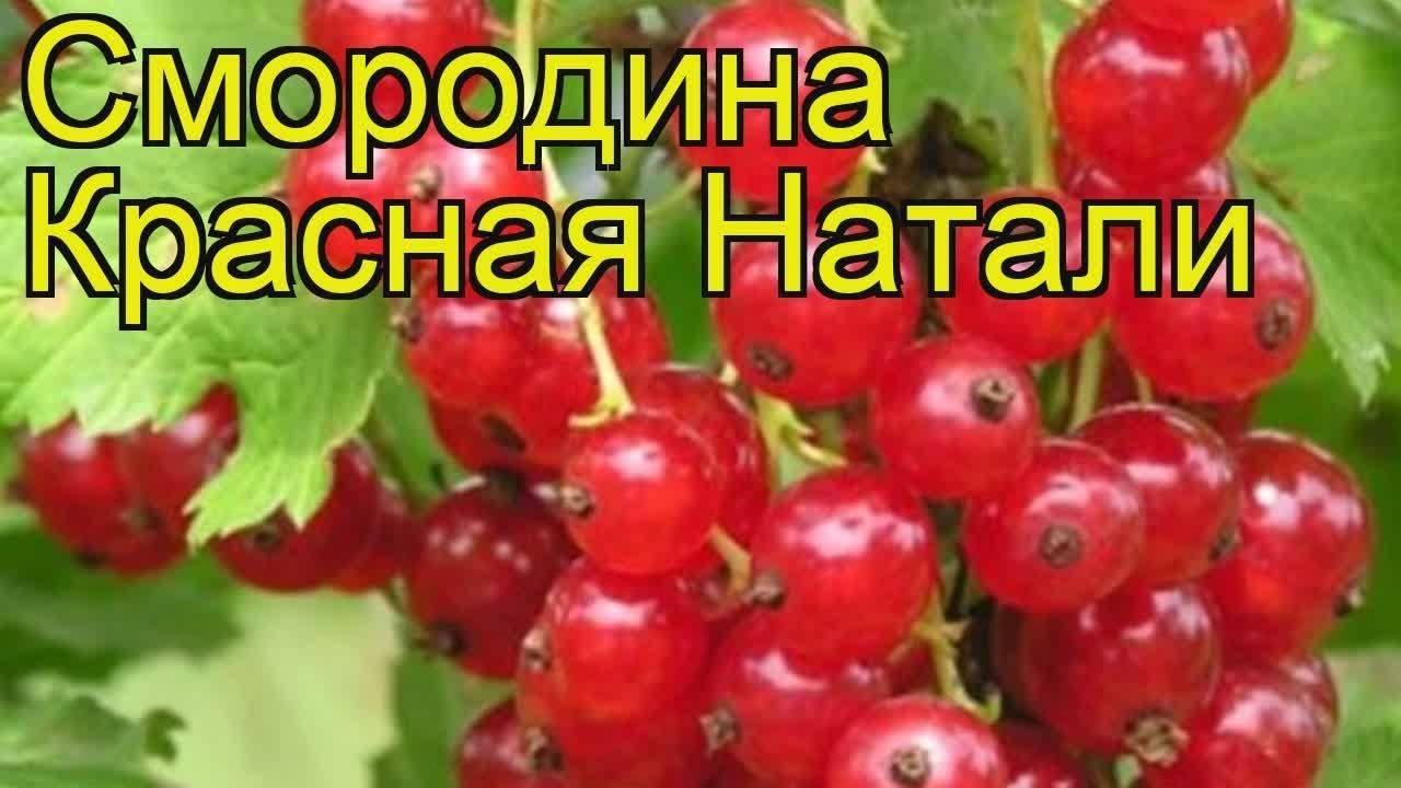 Смородина натали: описание сорта красной ягоды и его фото