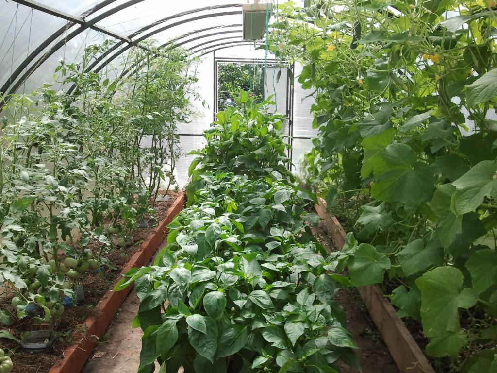 Что нельзя, а что можно выращивать в теплице с помидорами