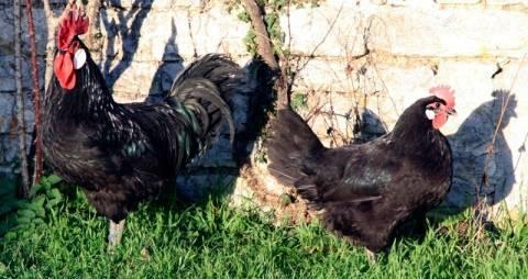 Кучинская юбилейная порода кур: описание и условия содержания