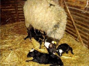 Курдючные овцы, их происхождение, ценность и условия содержания 2020