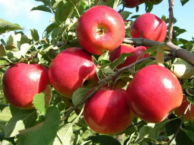 Востребованный сорт, выведенный в россии - яблони услада - плодовые деревья - 2020