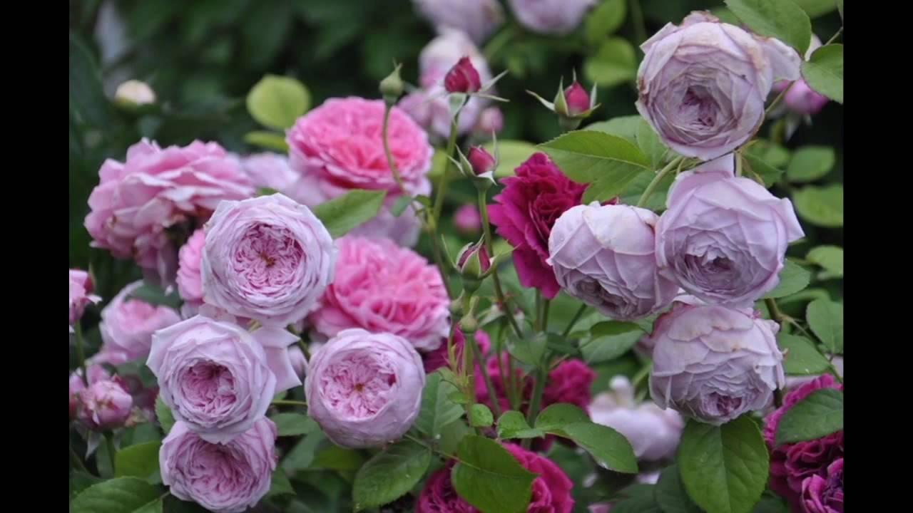 Как выращивается роза фридом, особенности посадки и ухода