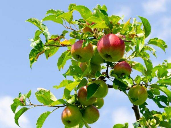 Узнайте, какие яблони лучше посадить на даче