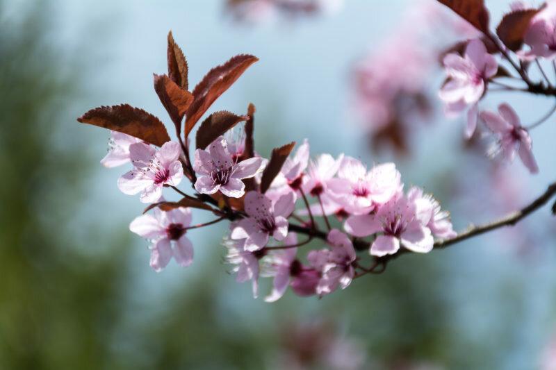 Слива не цветет и не плодоносит: почему это происходит и что делать