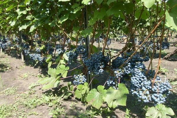Посадка винограда осенью в ленинградской области. формировка куста винограда