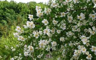 Как размножить жасмин садовый черенками?