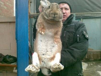 Кролики породы ризен: характеристики, содержание, разведение и отзывы