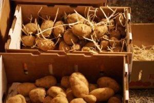 Картофель в красном — сорт «ред леди»: описание с характеристиками плода и фотографиями