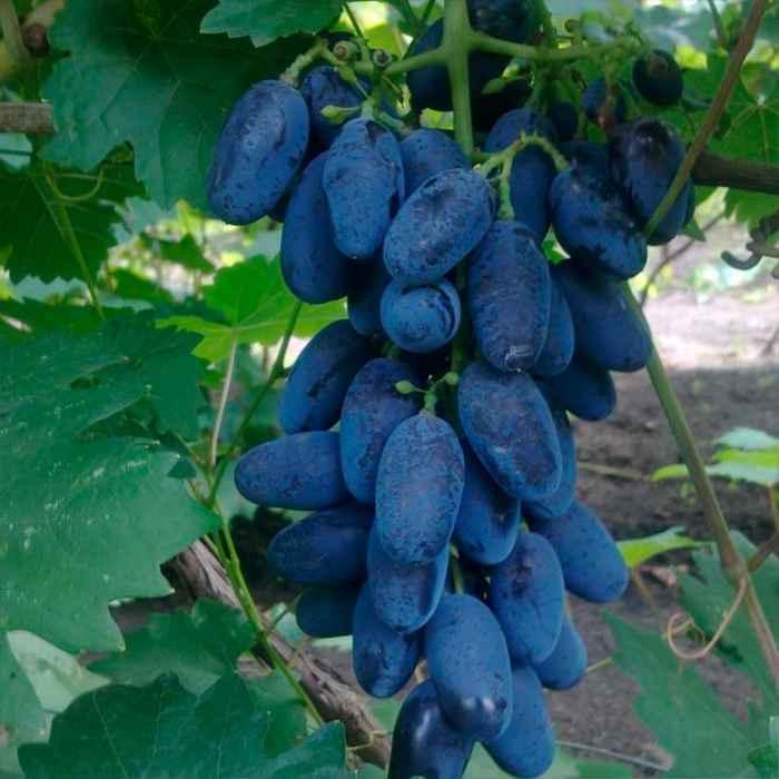 Виноград памяти дженеева (академик): описание, фото и отзывы
