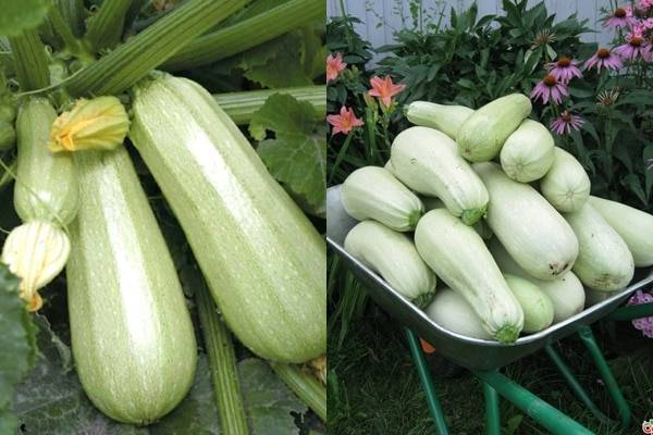 Описание и характеристики сорта кабачка кавили выращивание и уход