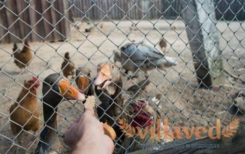 Корм для гусей в домашних условиях