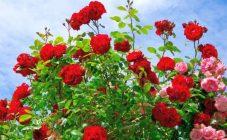 Почему и что делать, если роза плохо растет в высоту и не дает побегов