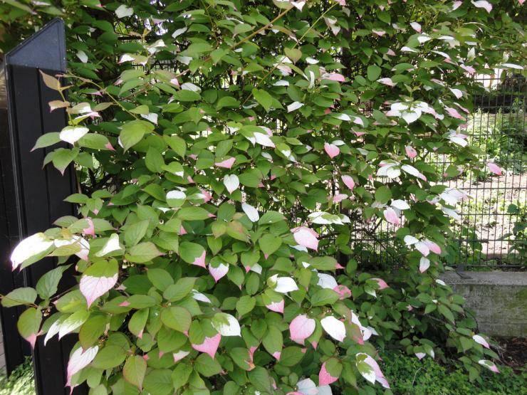 Весной замерзли листики актинидии нужно обрезать ветки. уход за актинидией осенью подготовка к зиме