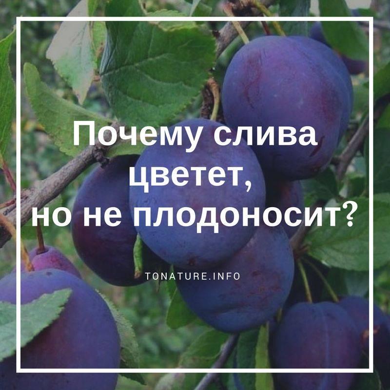 Почему не плодоносит слива и вишня