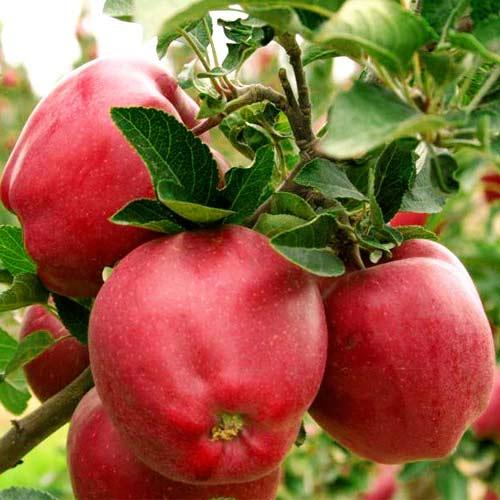 Старейшая яблоня ред делишес
