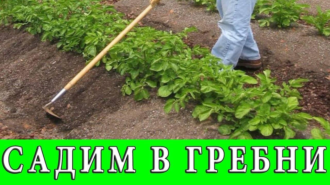 Самые эффективные схемы посадки картошки