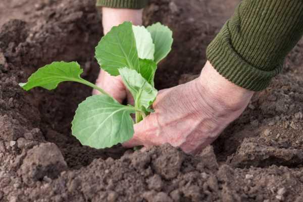 Ранняя капуста: сроки и способы посева на рассаду