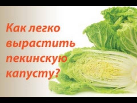 Советы по выращиванию пекинской капусты: сэкономьте на покупках овоща, вырастив его самостоятельно!