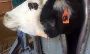 Абсцесс у крс: лечение у коров, история болезни