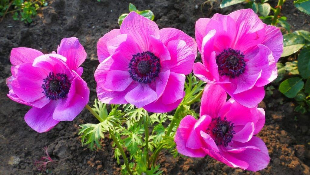 Анемона: посадка и уход в открытом грунте, фото ветреницы, выращивание цветов на клумбе, размножение anemone