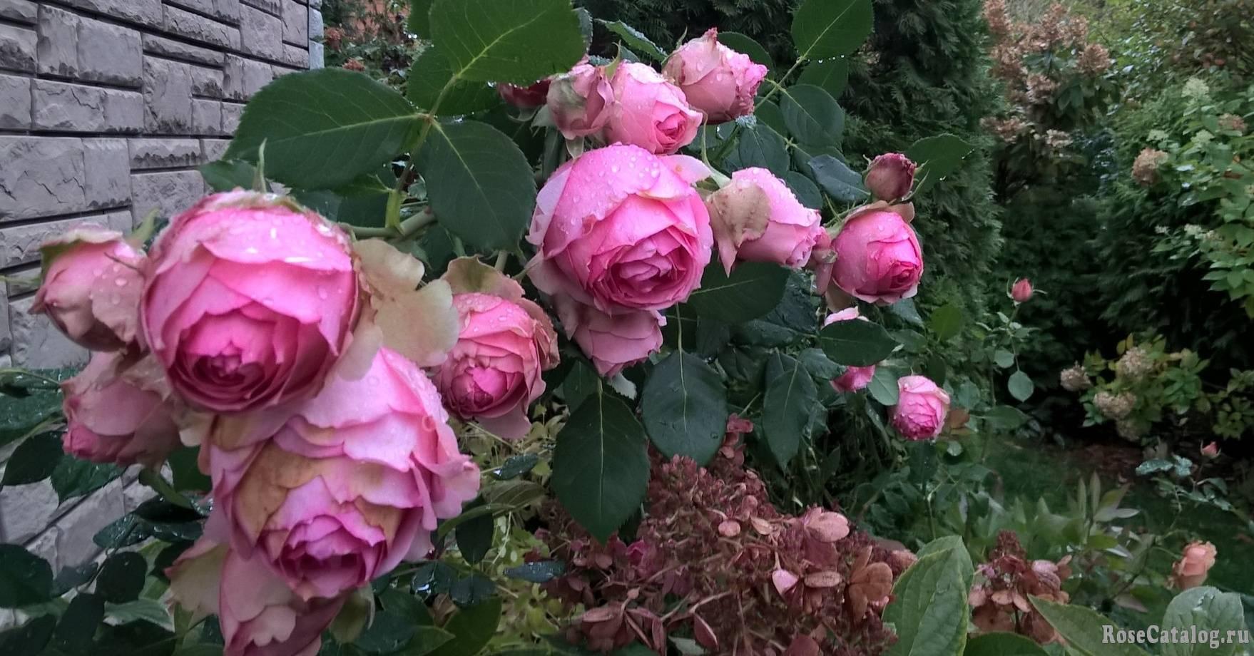 Роза ферст леди (first lady) — характеристики и описание сорта