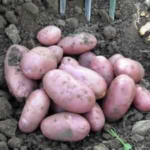 Достоинства и недостатки картофеля под название елизавета