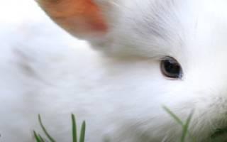 Полынь для кроликов: польза или вред?