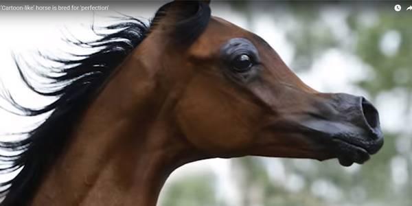 Арабская лошадь  фото, описание, ареал, питание, враги