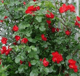 Роза парковая пинк робуста. краткий обзор, описание характеристик, где купить саженцы pink robusta