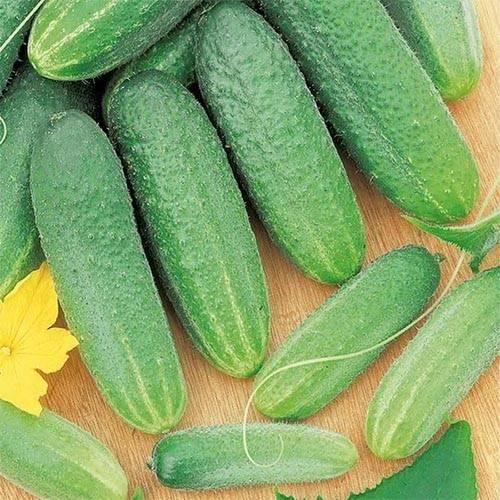 Все о сорте огурцов луховицкий: описание, агротехника выращивания и уход